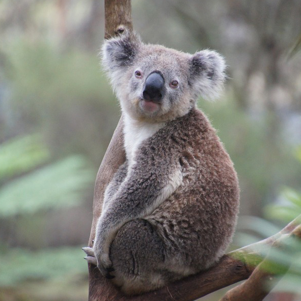 Scientists crack the genetic code of koalas